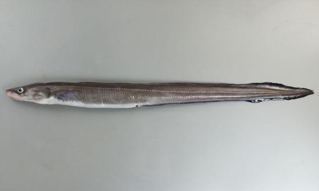 体長1.2m前後になる。側線に沿って白く小さい斑紋が一列に並ぶ(マアナゴは測線上と背鰭との間にも白い斑紋がある)。クロアナゴと比べるとずんぐりとした体形をしている。胸鰭後端と背鰭起部(背鰭の前端)はほとんど同じか狭い。