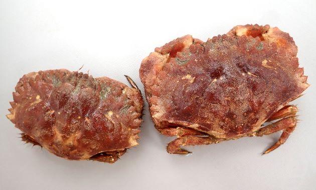 イチョウガニの形態写真