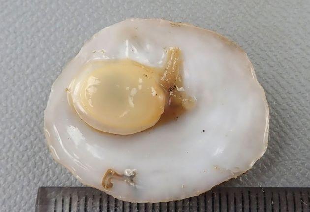 30mm SL 前後になる。楕円形で貝殻は膨らまず低い。殻頂は右後方にある。軟体は庇状の中に納まる。