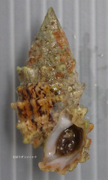 メオニノツノガイの形態写真