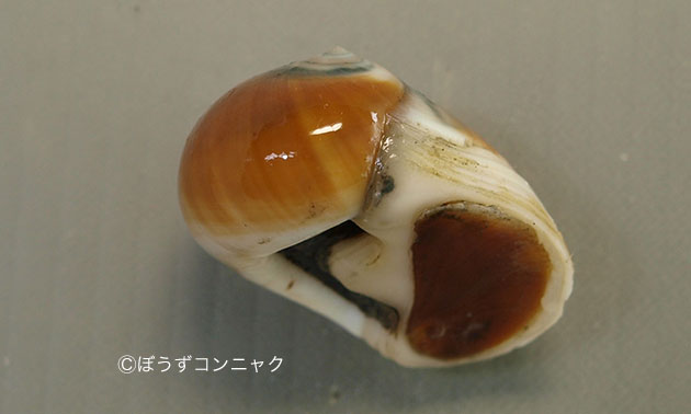 ウチヤマタマツバキの形態写真