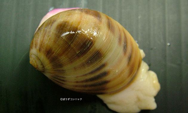 ヌノメリスガイの形態写真