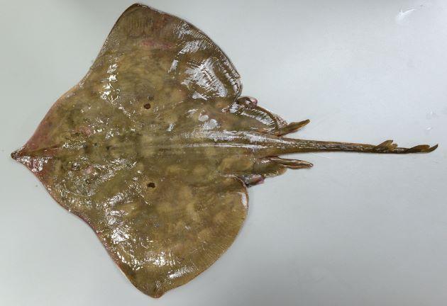 体盤長1.1m前後になる。体盤に顕著な斑紋があるものと、ないものとがある。吻(先端のやや尖っている部分)の軟骨は硬くて折り曲げることは難しい。