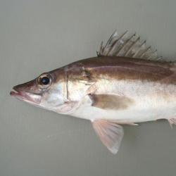 アラ | 魚類 | 市場魚貝類図鑑