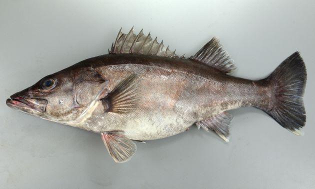 体長1m前後になる。背鰭棘は13。前鰓蓋に強い棘がある。細長くやや側扁する。背は褐色(茶色)で腹は白い。尾鰭の上下が白い。