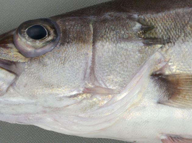 前鰓蓋に強い棘がある。