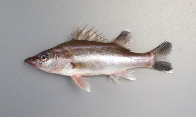 体長1m前後になる。背鰭棘は13。前鰓蓋に強い棘がある。細長くやや側扁する。背は褐色(茶色)で腹は白い。尾鰭の上下が白い。[体長19cm]