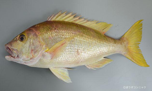 キビレフエダイ | 魚類 | 市場魚...