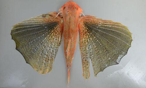 ホシセミホウボウの生物写真