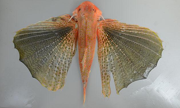 ホシセミホウボウの形態写真