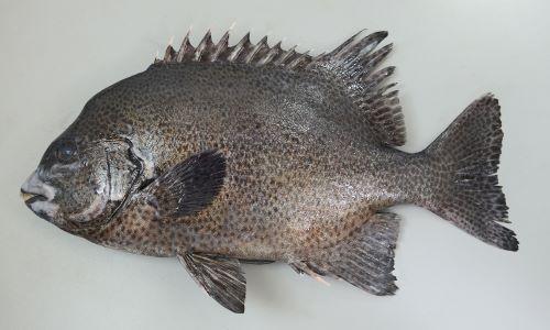 60cmほどになる。側扁(左右に平たい)し、体高が高く横から見ると円形に近い。大きくなるほど楕円形になる。小型魚には黒い不定形の斑文があり、大きくなるに従って不明瞭になる。また大型になるに従い口の周りが白くなる。[成魚]