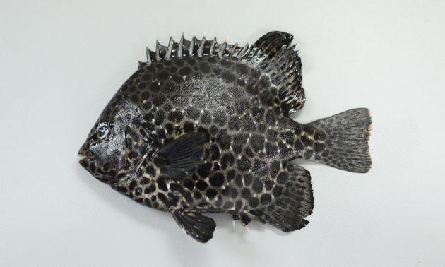 60cmほどになる。側扁(左右に平たい)し、体高が高く横から見ると円形に近い。大きくなるほど楕円形になる。小型魚には黒い不定形の斑文があり、大きくなるに従って不明瞭になる。また大型になるに従い口の周りが白くなる。[幼魚]