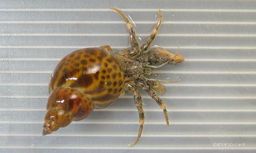 トゲツノヤドカリの生物写真
