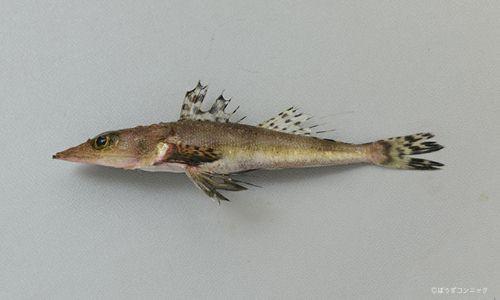 ササノハゴチの生物写真
