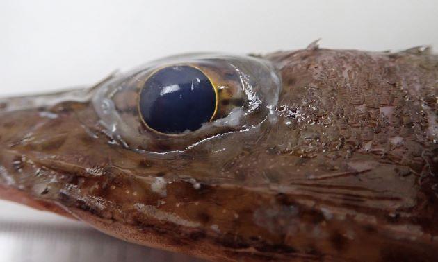 目の虹彩皮膜の上片は樹枝状ではなく単純。