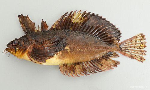 イソバテングの生物写真