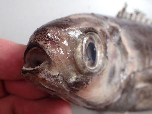 紡錘形で口は吻端に開き丸い。目が非常に大きい。