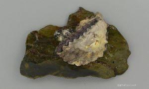 オハグロガキのサムネイル写真