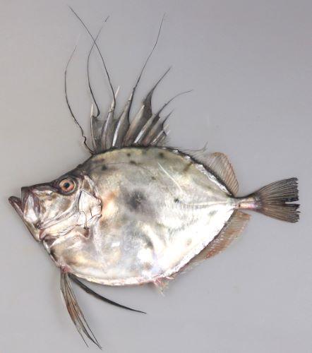 体長50cm前後になる。側面から見ると円形に近く頭部は湾入する。