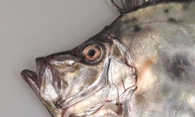 50cm SL 前後になる。側へんして非常に体高が高い。頭部背面は湾入する。体側中央に黒斑があるが薄い。