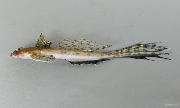 体長22cm前後になる。尾鰭が非常に長い。第2背鰭は一番後ろのものを除いて分枝しない。尾柄部平面に左右の測線が繋がる連結枝がある。後頭部(目の後ろ)に骨隆起がある。