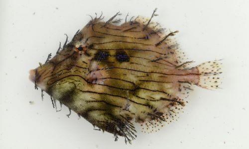ヒゲハギの生物写真