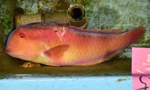 SL 23cm前後になる。全体に赤色で側へん(左右に平たい)、背鰭先端が伸びる。口角から後方に1本の溝がある。生きているときは非常に美しい。