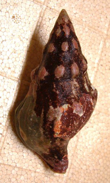 貝殻は分厚く非常に硬い。
