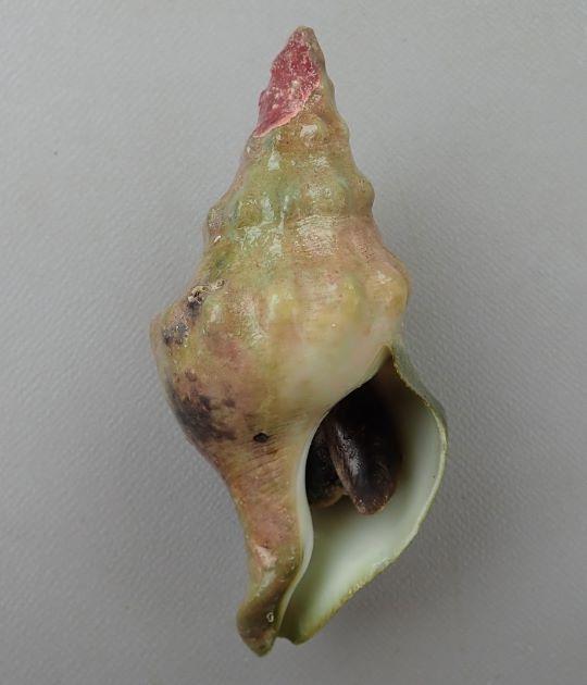 110mm SL 前後になる。のっぽ型で、貝殻の表面には弱い螺脈が長脈と交わり布目状で硬く厚みがある。周縁に瘤上の結節がある。