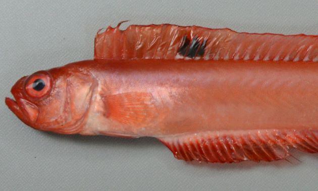 体長50cm前後になる。体はリボン状。背鰭に黒い顕著な斑紋がある。