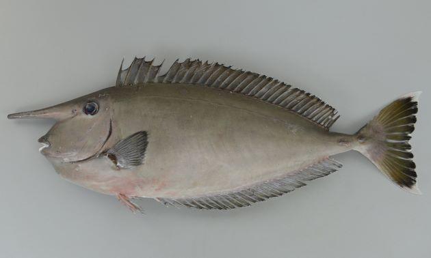 ツマリテングハギの形態写真