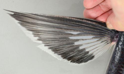 胸鰭後端と中ほどに透明な部分がある。