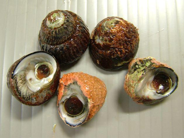 ヒメクボガイの形態写真