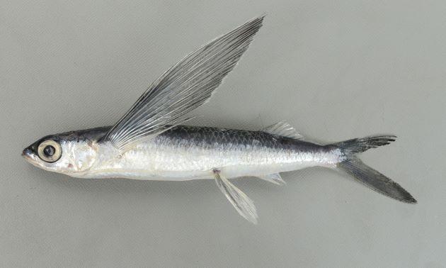 体長25cm前後になる。小型で細長い。尻鰭の先方の始まりは背鰭の前方の始まりとほとんど同じ位置にある。胸鰭は黒く後縁には透明な部分があるものの目立った透明域はない。