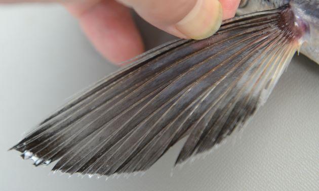 胸鰭は黒く後縁には透明な部分があるものの目立った透明域はない。