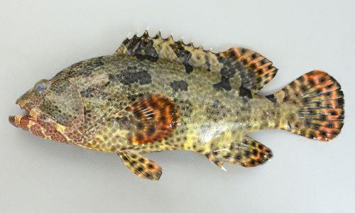 アカマダラハタの生物写真