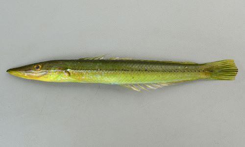 カマスベラの生物写真