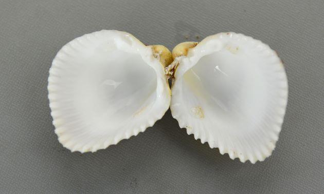 殻長5.5cm、殻高6.5cm前後になる。ふくらみが強く、30本内外の放射肋がある。放射肋の上に棒状の結節(畝状のもの)がある。