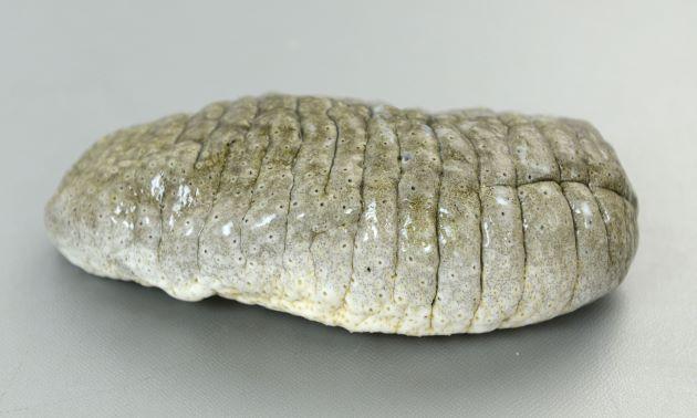 全長30-40cm前後になる。円筒形に近く上が少し平。身体は軽石を思わせて硬い。