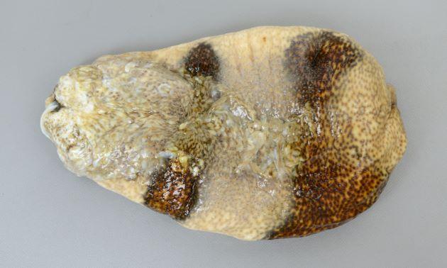 フタスジナマコの形態写真