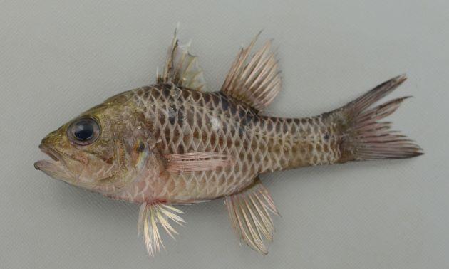 フタスジアカヒレイシモチの形態写真