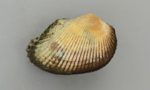殻長6cm前後になる。成貝は前後に非常に長い。ふくらみが強く貝殻は厚みがあって硬い。
