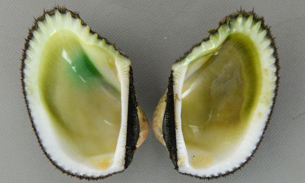 貝殻は硬く厚みがある。