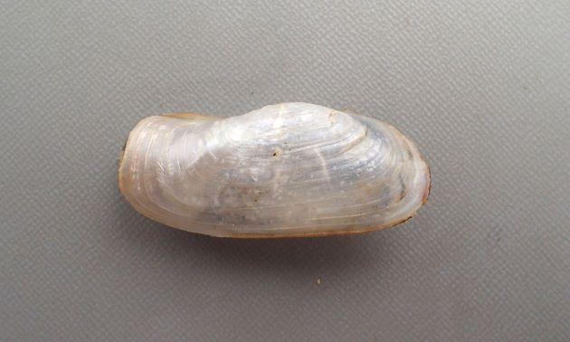 ヒロクチソトオリガイの形態写真