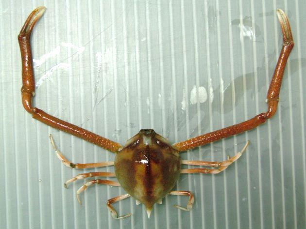 テナガコブシの形態写真