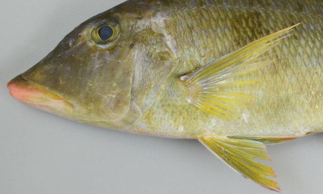 頭部目の前の額の部分がくぼむ。胸鰭の中央部分は薄い水色。腹鰭は透明ではなく薄い褐色。