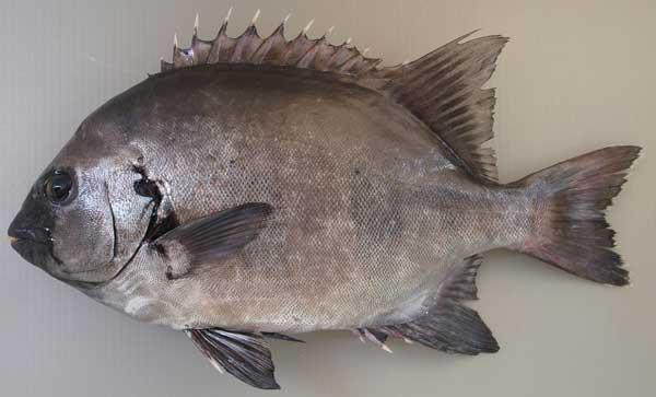 体長50cm前後になる。典型的な鯛型。体側に黒い横縞があり、成長すると消えるかわりに口の周辺が黒くなる。歯は癒合して嘴(くちばし)状になる。老成すると雄は暗色、雌は銀白色になる。[横縞はまだくっきりと残っている体長37cmの成魚]