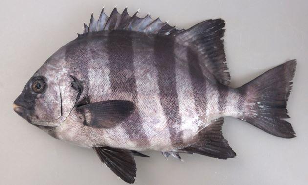 体長50cm前後になる。典型的な鯛型。体側に黒い横縞があり、成長すると消えるかわりに口の周辺が黒くなる。[横縞はまだくっきりと残っている体長32cmの成魚]