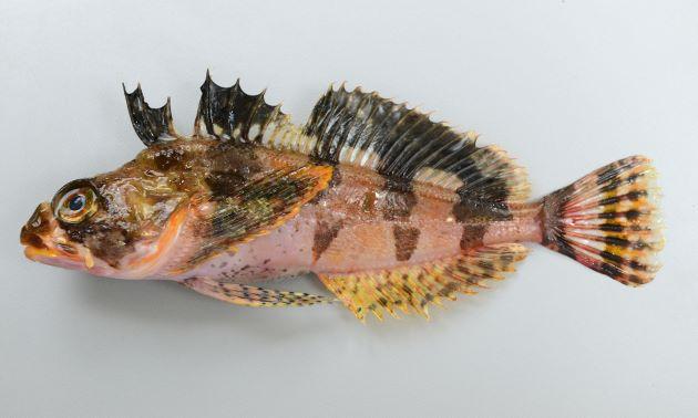 体長36cm前後になる。細長く断面は円形に近い。体側に棘状の鱗が帯状にあり、尻鰭基部近くに1列の棘状の鱗が並んでいる。体色は明るく頭部、体側に褐色の横縞が見える。(写真は雄で腹鰭に褐色の斑紋がある)