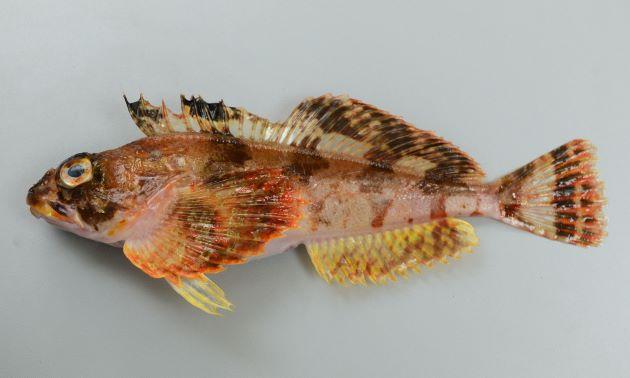 体長36cm前後になる。細長く断面は円形に近い。体側に棘状の鱗が帯状にあり、尻鰭基部近くに1列の棘状の鱗が並んでいる。体色は明るく頭部、体側に褐色の横縞が見える。(写真は雌で腹鰭が黄色い)